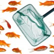 Many goldfish and net — Stock Photo #3760332