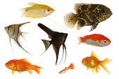 Aquarium fish on white background — Stock Photo