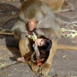 Monkey mother and baby — Stock Photo