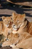 Lion family — Stock Photo