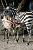 Joven cebra de alimentación — Foto de Stock