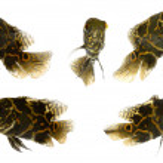 Five tiger oscar fish — Stock Photo
