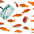Many goldfish and net — Stock Photo