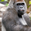 Gorilla is poseren — Stockfoto