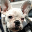 French bulldog dog — Stock Photo