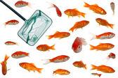 Muitos peixes dourados e net — Fotografia Stock