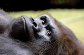 Resting gorilla — Stock Photo