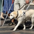Guide dog — Stockfoto