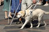 собака-поводырь — Стоковое фото