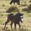 Exmoor Foal — Stock Photo