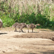 Canada Geese Goslings - Stock Photo
