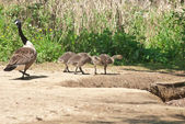 Canada Geese Goslings — Stock Photo