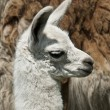 Week Old Llama — Stock Photo