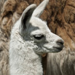 Week Old Llama - Stock Photo