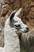 Vecka gammal lamadjur — Stockfoto