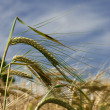 Wheat Ripening in the Sun — Stock Photo