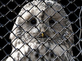 Owl under grating — Stock Photo