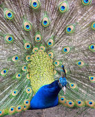 Peafowl — Stock Photo