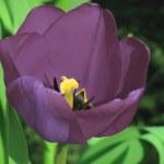 Violet tulip — Stock Photo