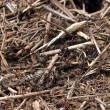 Anthill — Stock Photo