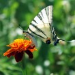 Butterfly on marigold — Stock Photo #3617427