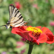 Butterfly on zinnia — Stock Photo #3623401