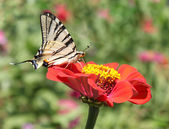 Butterfly on zinnia — Stock Photo