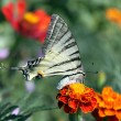 Butterfly on marigold — Stock Photo #3648118