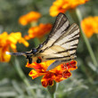 Butterfly (Scarce Swallowtail) — Stock Photo #3648125