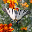 Butterfly (Scarce Swallowtail) — Stock Photo #3648132