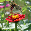 Painted Lady - Stock Photo