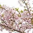Royalty-Free Stock Photo: Sakura blooming flowers