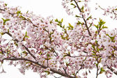 Sakura blooming flowers — Stock Photo
