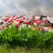 Beautiful tulips in garden - Stock Photo