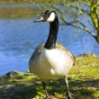 Canadian goose — Stock Photo #2741296