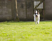 An energetic Jack Russell — Stock Photo