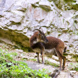 Wild British Primitive Goat — Stock Photo