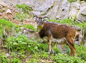 Wild British Primitive Goat — Stock Photo