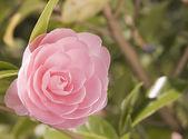 A beautiful pink bloom — Stock Photo