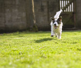 An energetic Jack Russell running towards the camera — Stock Photo