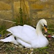 Female swan tending eggs in her nest — Stock Photo