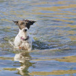 A Jack Russell terrier wading through the water — Stock Photo