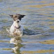 Stock Photo: Jack Russell terrier wading through water
