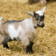 Stock Photo: A baby goat standing on straw bedding in an indoor animal pen