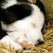 A Border Collie puppy sleeping on a bed of straw — Stock Photo