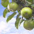 Stock Photo: Tree branch with green apples against blue sky