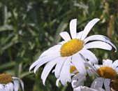 Close up of an ox eye daisy — Stock Photo