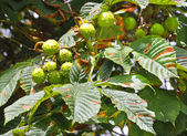 Conkers ripening on a horse chestnut tree branch — Stock Photo