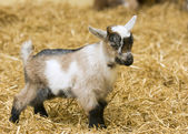 A baby goat standing on straw bedding in an indoor animal pen — Stock Photo
