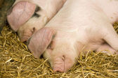 Two pigs sleeping in a straw filled enclosure — Stock Photo